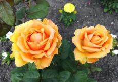 розы_мини