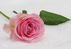 rose-mini