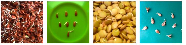 Живая еда _ пророщенные зерна из магазина